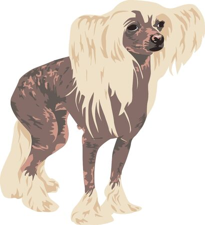 Chinese Crested dog breed on a white background detail is drawn Stock Vector - 14236390