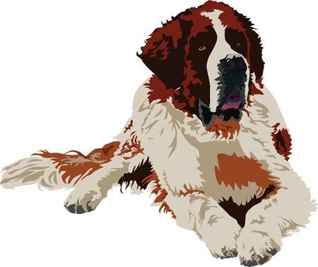 caritas pintadas: San Bernardo raza de perro sobre fondo blanco Vectores