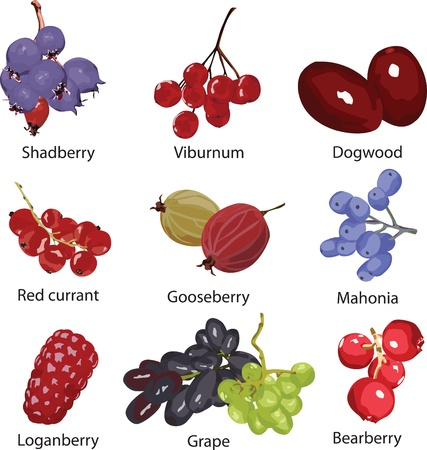 guelder rose: set of different berries on a white background