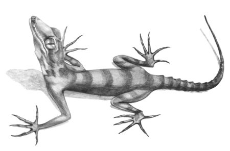 Lizard  hand-drawn illustration in sketch style.Realistic drawing in graphite pencil on a white background.