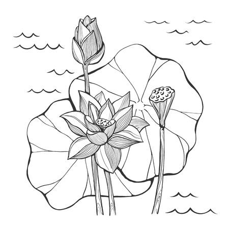 leaf line: Vector sketch lotus flowers  bud and seeds Illustration