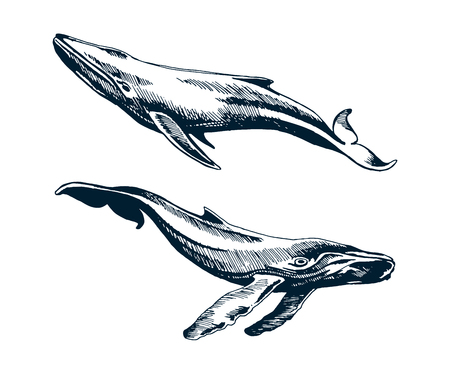Two blue and humpback whales. Vector sketch illustration.