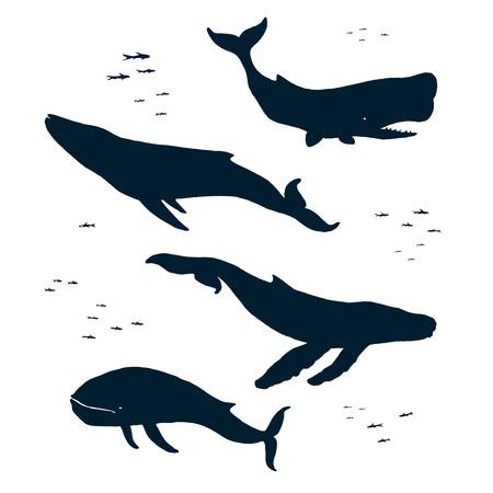 minke: Marine mammals. Silhouette. Blue humpback and sperm whales. Isolated illustration Illustration