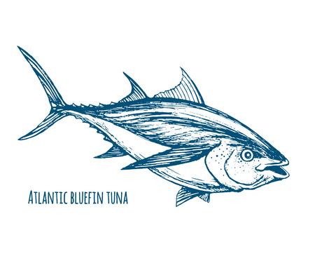 Atlantic bluefin tuna Vettoriali