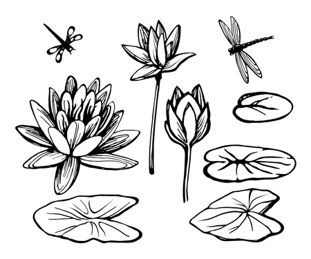 Water lily lotus and dragonfly