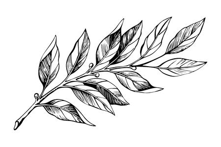 Lorbeerzweig-Skizze. Botanische Illustration, ein Zweig einer Pflanze mit Blättern. Handgezeichneter Liner. Vektorgrafik