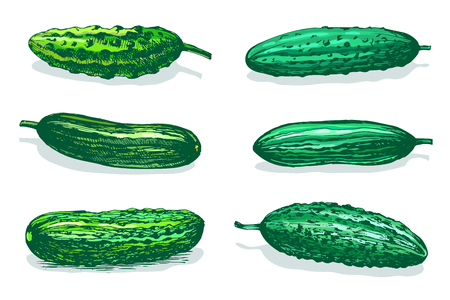 Vector hand drawn sketch of green cucumbers. Colored illustration isolated on white background.