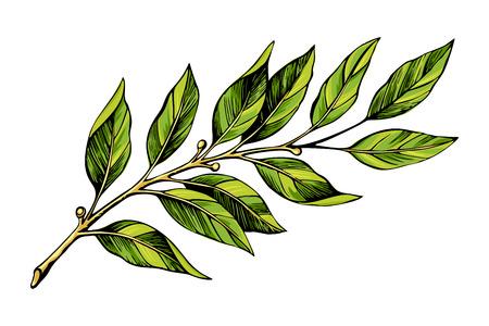 Laurel branch color sketch