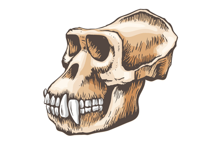 Gorilla Monkey Skull vector Çizim