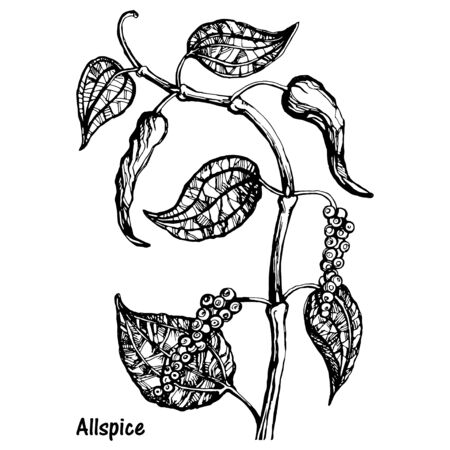 Natural allspice botanical hand drawn sketch vector