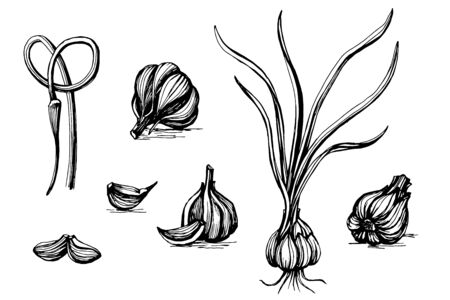 Garlic, botanical sketch. vector