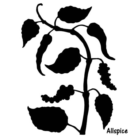 Natural allspice botanical hand drawn silhouette vector 일러스트