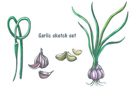 Schizzo colorato disegnato a mano, aglio vintage con set di fughe verdi, bozza di disegno, isolato su sfondo bianco. Disegno di incisione grafica di cibo.