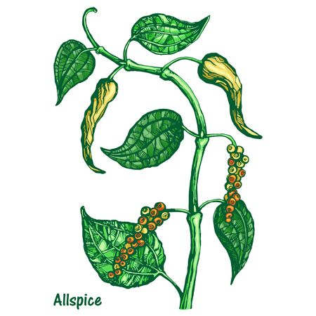 Vector silhouette of black pepper plant with leaves and peppercorns, isolated on white background. Botanical hand drawn illustration style. Natural allspice seasoning for eating and cooking