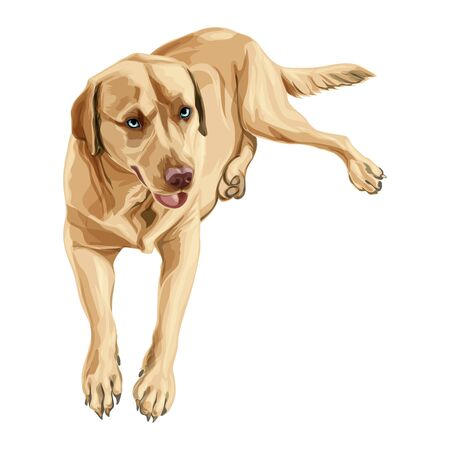Labrador Retriever yellow