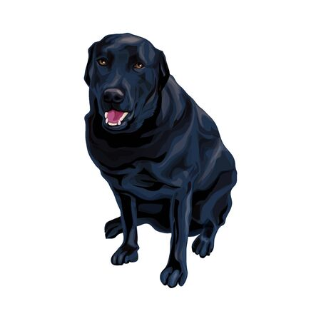 Serious dog breed black Labrador Retriever