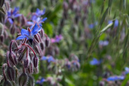 Borage is an antioxidant and anti-inflammatory plant, useful for the heart.