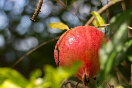 Pomegranate is a very special fruit that represents an authentic concentration of beneficial properties, so much so that it is considered a real superfood!S Imagens - 132052984