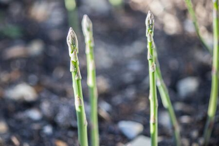wild asparagus harvested in the woods Imagens