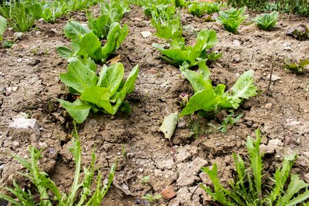 organic farming, lettuce, endive and salad plants grown naturally without fertilizing