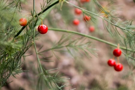 The small red asparagus berries