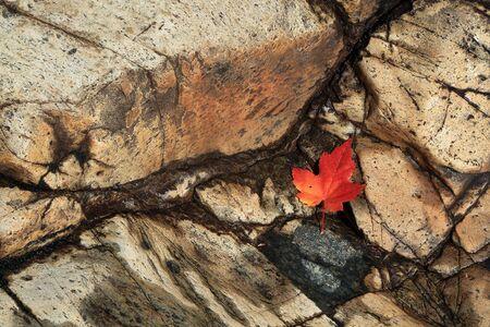 赤葉。石を葉します。カナダの秋。 写真素材