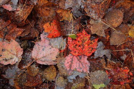 赤葉。最初の雪。カナダの秋。