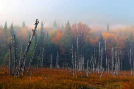 カナダの秋。霧の朝。うらら。秋の森。カラフルな秋の風景です。国立のモン ・ トランブランのパルク。ケベック州。カナダの秋。