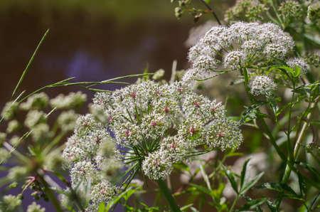 Marsh Hemlock close-up, grass milestone