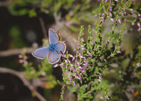 A blue butterfly sits on a Heather flower in the sun