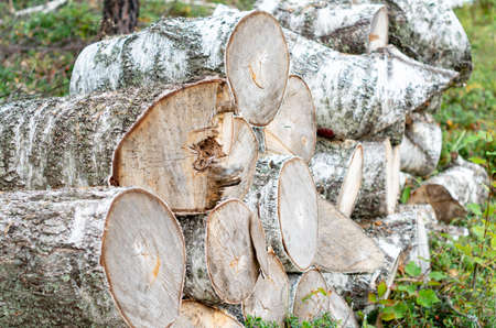 Birch log. Tree cut. Birch firewood on the grass