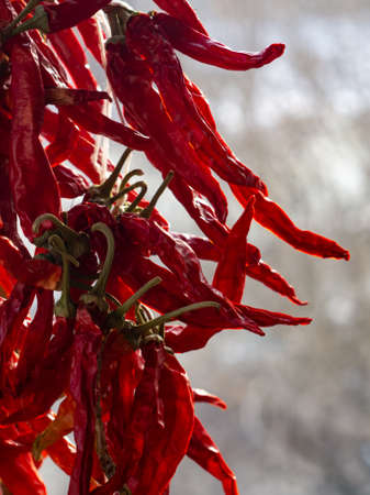 Dried red chili pepper. The pepper crop is dried on the window