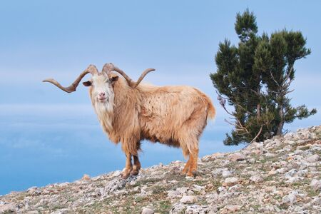 Portrait of wild goat on a mountainside in the daytime on a blue background. Imagens
