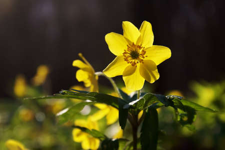 the caustic: Caustic buttercup (Ranunculus acris) close up