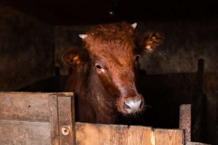 red calf with small horns in the pen looks at the camera