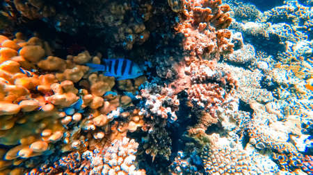 a gray striped fish hides behind corals at the bottom of the blue sea.