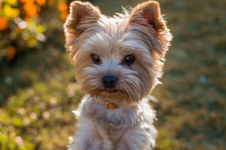 lapdog: Closeup portrait of Yorkshire Terrier Dog on the grass
