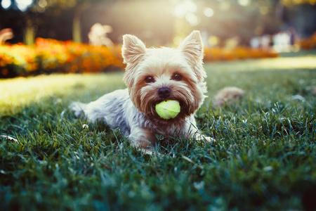 miniature breed: Hermoso yorkshire terrier jugando con una pelota en una hierba
