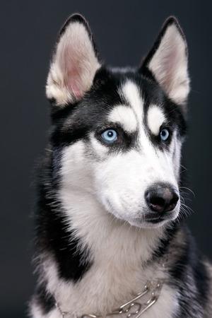 studio portrait: Studio portrait of beautiful Siberian Husky