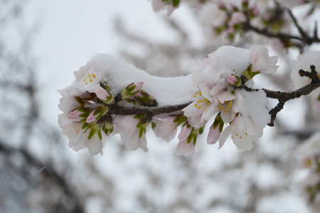 almond bud: Snow on the almond  buds and flowers