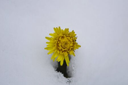 Dandelion flower among snow photo