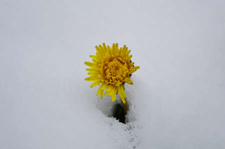 dandelion snow: Dandelion flower among snow Stock Photo