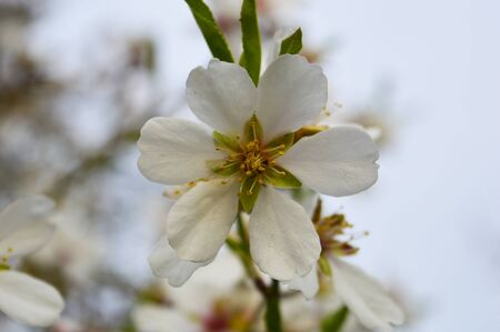 almond bud: Almond tree blossom Stock Photo