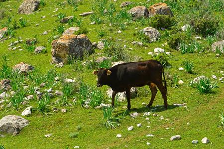 ruminate: Cow in the mountains, Mountain range Katran, Kyrgyzstan Stock Photo