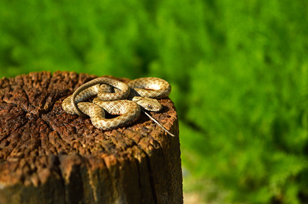 Grey snake resting on the old stump