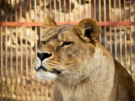 head of lion against the cage photo