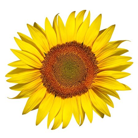 beautiful sunflower isolated on a white background Stock Photo