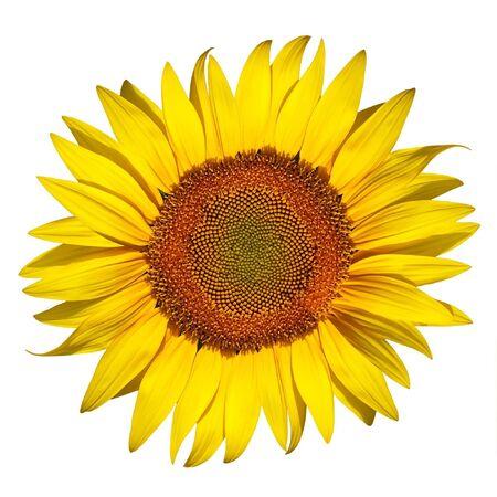 sunflower isolated: bella girasole isolato su uno sfondo bianco