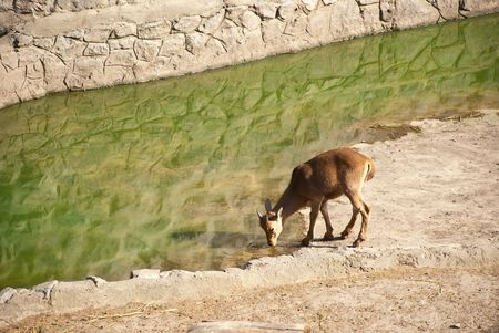 young mountain goat drinking water stock photo picture and royalty