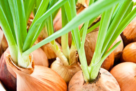bulb and stem vegetables: young green onion background closeup